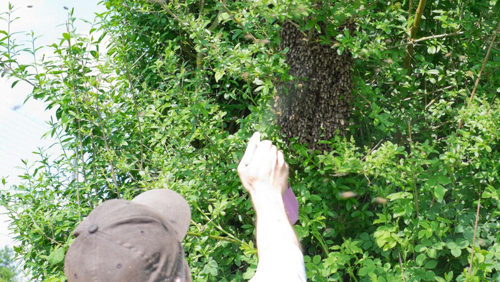 Bienenschwarm einfangen - Landshuter HONIG